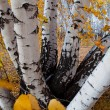 Stock Photo: Stems of birches
