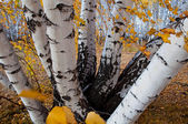 Stems of the birches — Stock Photo