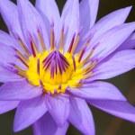 lilie — Stock fotografie