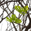 Fig tree - 