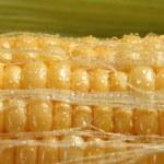 Corn — Stock Photo #3680684