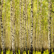 Stock Photo: Birches.