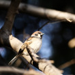 Sparrow — Stock Photo #2701381