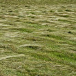 Mown grass texture — Stock Photo
