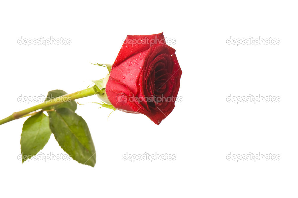 Beautiful red rose isolated  Stock Photo #2761896