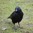 Stock Photo: Carrion Crow