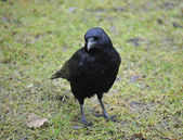 Carrion Crow — Stock Photo