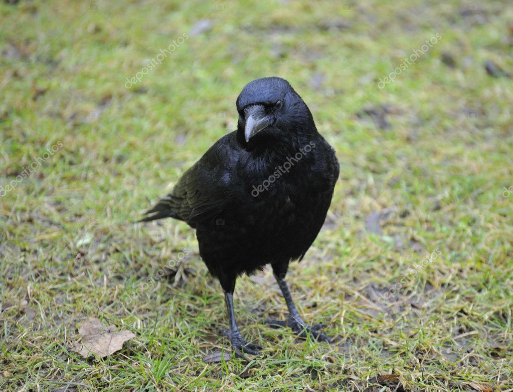 Carrion crow resting on green grass field — Stock Photo #2828259