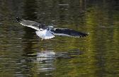 Lesser Black-backed gull — Stock Photo