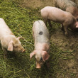 Pigs — Stock Photo #2808446