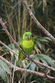 Parrot — Foto de Stock