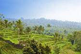 Kind on rice terraces, Bali, Indonesia — Stock Photo