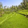 Rice terraces, Bali, Indonesia — Stock Photo