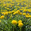 Yellow dandelions in the meadow — Stock Photo