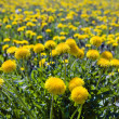 Yellow dandelions in the meadow — Stock Photo #3194522