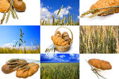 Wheat and bread on white background and Field of wheat — Stock Photo