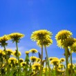 Yellow dandelions in the meadow clear solar summer's day — Stok fotoğraf