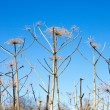 Dry cow-parsnip on sky background — Stock Photo
