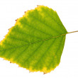 Stock Photo: Birch leaf