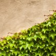Royalty-Free Stock Photo: Ivy