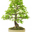 Elm Bonsai Tree on a ceramic pot — Foto Stock
