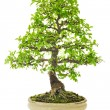 Stock Photo: Elm Bonsai Tree on ceramic pot