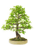 Elm Bonsai Tree on a ceramic pot — Stock Photo