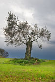 Lonely olive tree — Stock Photo
