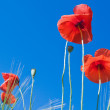 Red poppy flowers against blue sky — Stock Photo