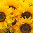 Beautiful sunflowers as background — Stock Photo