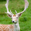 Fallow deer in the wilderness, Black Forest, Germany — Stock Photo