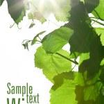 folhas vinhos verdes — Foto Stock