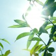 Sun rays thru leaves — Stock Photo