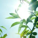 Raios de sol através de folhas — Foto Stock