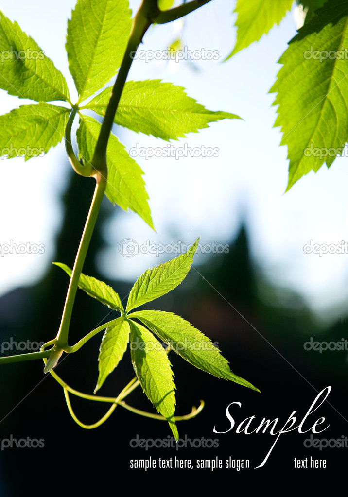 Green leaves on dark background. Space for text isolated on solid color. — Stock Photo #3372183
