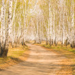 Birch forest — Stock Photo #3057697