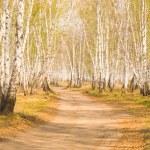 Birch forest — Stock Photo
