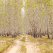 Birch forest — Stock Photo #3071251