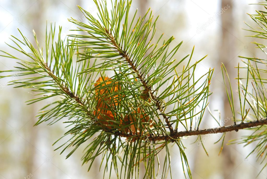 Close up of pine branch — Stock Photo #3070415