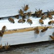 Honey bees returning to hive - Stock Photo