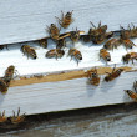 Honey bees returning to hive — Stock Photo