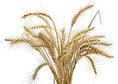 Sheaf of weat isolatedon white background — Stock Photo