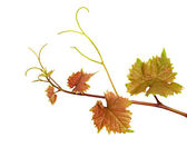 Grapevine isolated on white background — Stock Photo