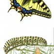 Stock Photo: Close up of caterpillar , pupae, and swallowtail