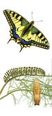 Close up of caterpillar , pupae, and swallowtail — Stock Photo