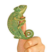 Chameleon on finger — Stock Photo