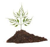 рассада дерево растет из почвы — Стоковое фото