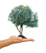Olive tree in palm as a gift — Stock Photo