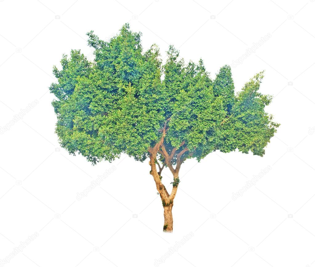 Tree on white background — Stock Photo #3445041