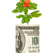 Pomegranate flower growing from dollar bill — Stock Photo #3455707